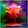 rose vibrant