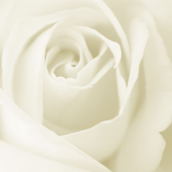 Barbara's White Rose