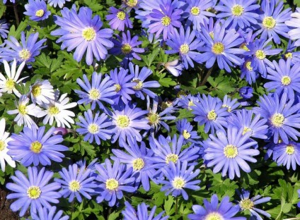 daisy-purple-36_Hi-Res