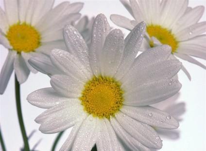 delicate-daisies_Hi_Res