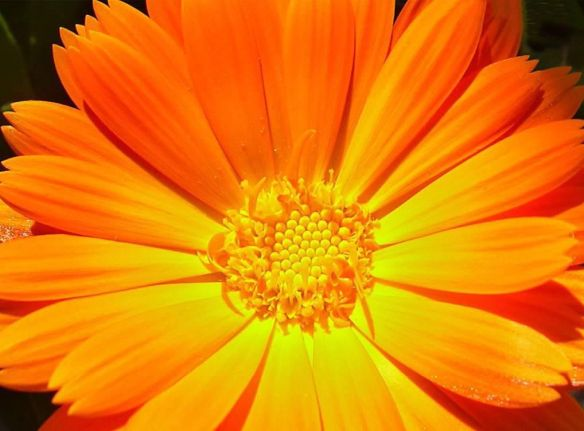 0-orange-gerbera-hi-res