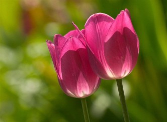 0-pink-tulips_HiRes