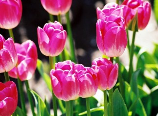 0-pink-white-tulips-HiRes