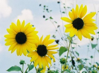 0-three-sunflowers_HiRes