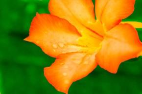 orange-bloom