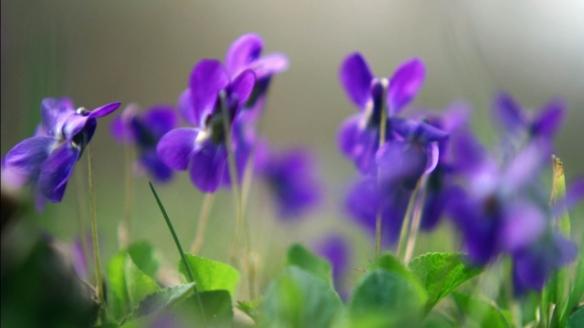011_purple_blooms_640x360