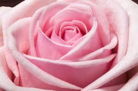 light-pink-rose-bg