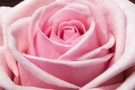 light-pink-rose-bg